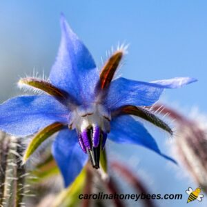 Purple borage flower in bloom in bee garden image.