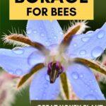 Purple borage flower planting borage for bees image.