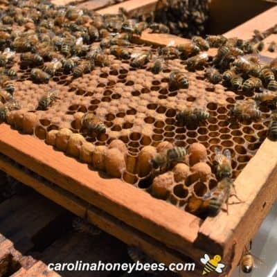 Types of honey bee brood on a frame from a hive image.