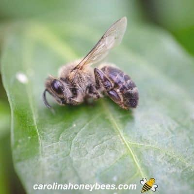 Honey bee weakened by nosema disease unable to return to hive image.