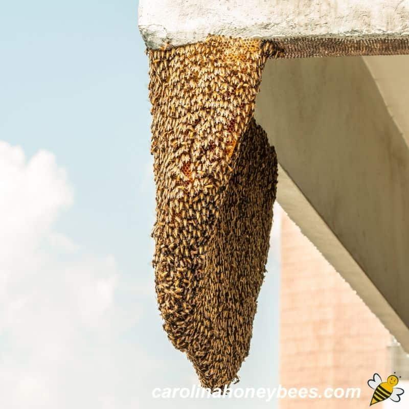 Urban bee swarm hanging on city building image.