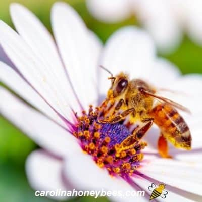 Honey bee attracted to nectar in bold colored flower image.