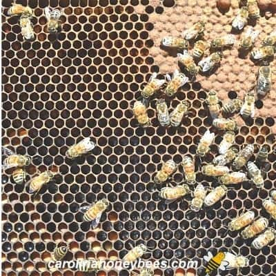 Honeycomb in hive frame with bee brood and darker color image.