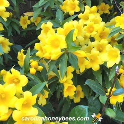 Yellow flowers on Carolina Jessamine is toxic to honey bees image.