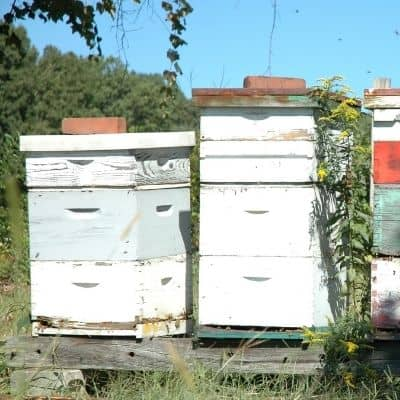 Strong honey bee colonies in a bee yard image.