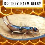 Adult earwig pest of beehive image.