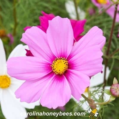 Bright pink flower with darker nectar guide region to guide bees image.