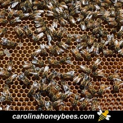 Failing honey bee hive with many drones image.