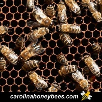 Honey bees in laying workers hive with little brood image.