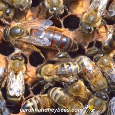 Mated queen honey bee in egg laying cycle inside hive image.