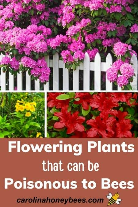 Common blooming plants that can be poisonous to bees, rhododendron, jessamine, azaleas image.