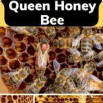 Queen honey bee life cycle in pictures image.