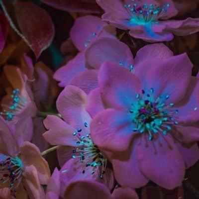 Flowers showing UV light guides that are visible to honey bees and other insects image.