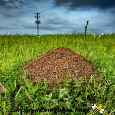 Ant mound in bee yard image.