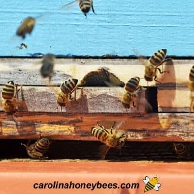 How to Attract a Bee Swarm to a Hive
