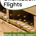 Bees flying in front of hive bee orientation flights image.