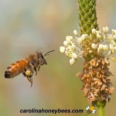 Worker honey bee with pollen in pollen baskets image.