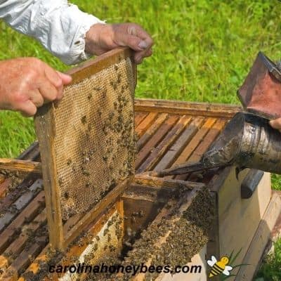 Beekeeper inspecting all hives in the apiary with bee smoker image.