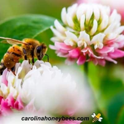 Honey bee foraging on clover plant image.