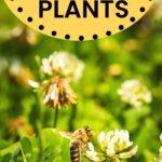 Honey bee on white clover best honey plants image.