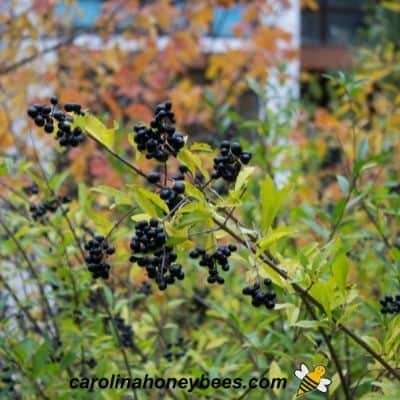 Ripe berries on Black Elderberry native shrub image.
