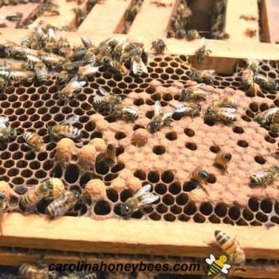 Brood frame in a hive image.