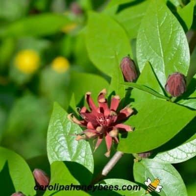 Carolina Allspice native shrub in garden to help feed bees image.