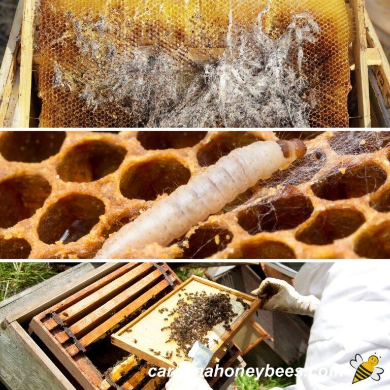 Honey Bee Pests, Predators and Diseases