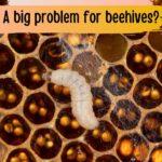 Wax moth larvae in beehive image.
