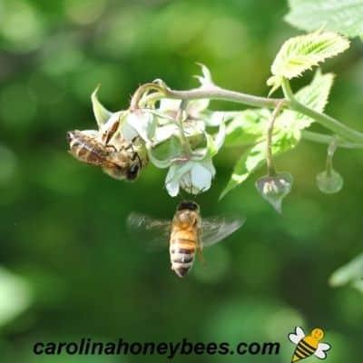 Honeybees foraging on flowering raspberry shrub image.