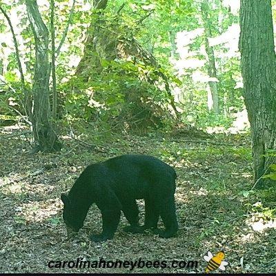 Black bear on game cam near my apiary image.
