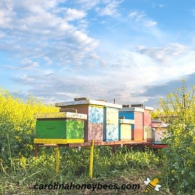 Modern apiary with hives close together encourages honey bee robbing image.