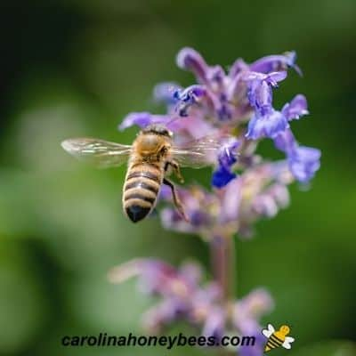 Forager honey bee gathering plant nectar from flowers image.