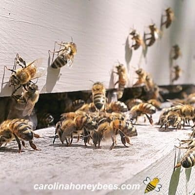 Forager honey bees fanning at entrance to increase beehive ventilation image.