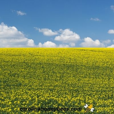 Large field of canola plant in bloom for rapeseed honey image.