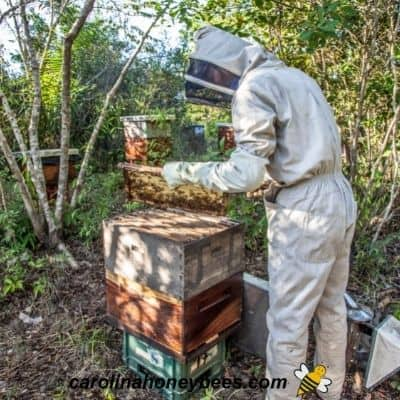 Male beekeeper inspecting hive image.
