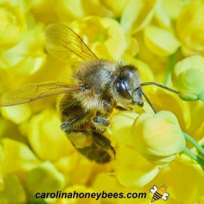 Honey bee collecting pollen from yellow flowers on native shrub image.