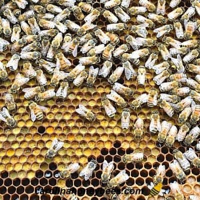Bee bread stored in comb for bees to eat when needed image.