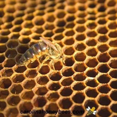 Queen bee inspecting empty cell in brood nest of a hive image.