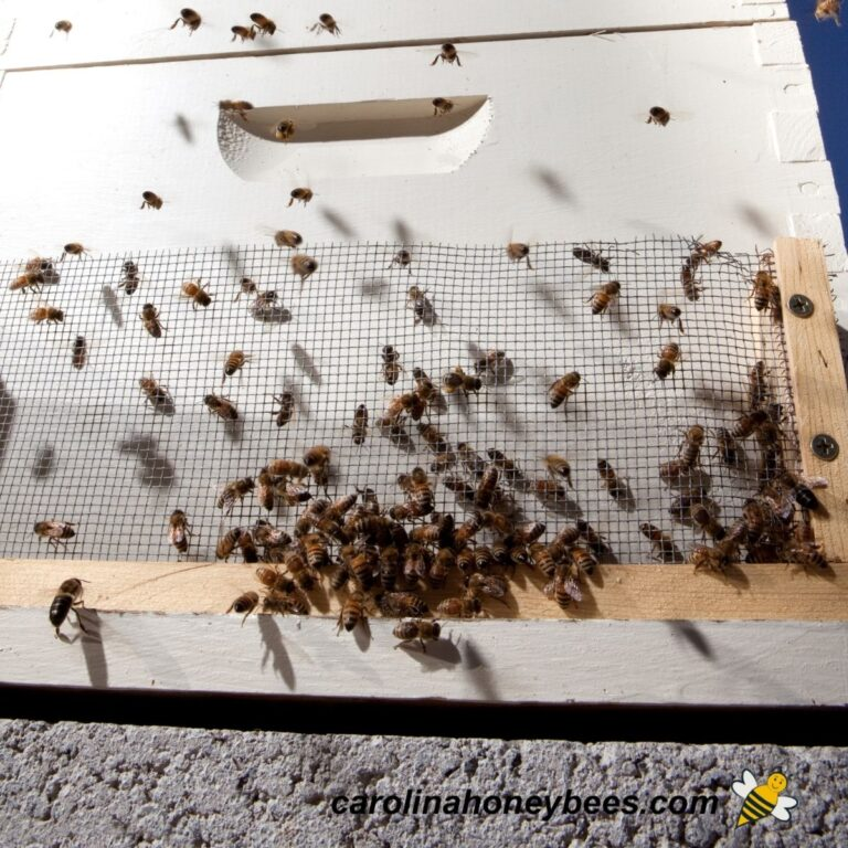 Robber Bees – How to Identify and Stop Them