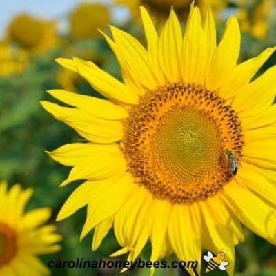 Honey bee gathers nectar from sunflower to make honey image.
