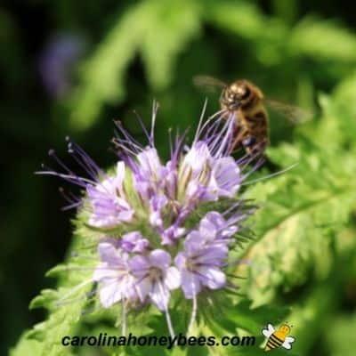 Top Honey Plants for Producing Honey