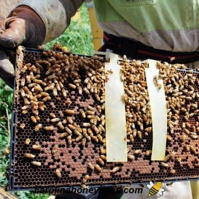 Varroa mite control strips on a beehive frame image.