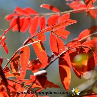 Vibrant Fall color on Winged Sumac in garden image.