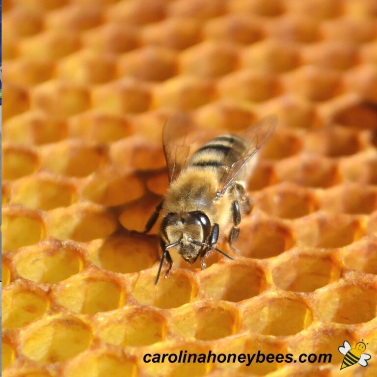 How do Bees Make Wax?