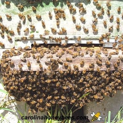 Honey bees hanging outside front of hive image.