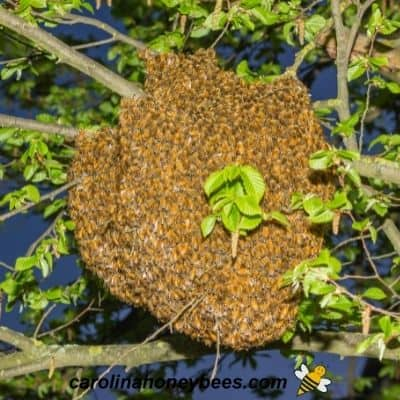 Honey bee reproduction on the colony level by swarming image.
