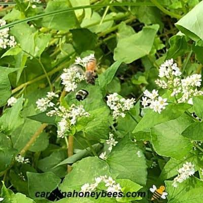Honey bee and bumble bee flying among blooming buckwheat image.