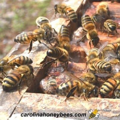 Bees scenting alarm pheromone term image.