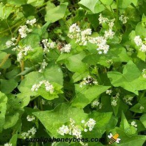 Honey bee foraging on white buckwheat blooms image.